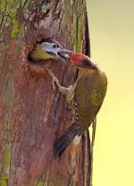 Picidae coloring