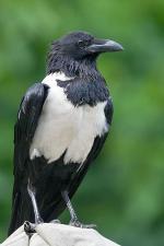 Pied Crow coloring