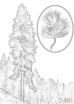 Pine coloring