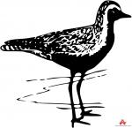 Plover clipart