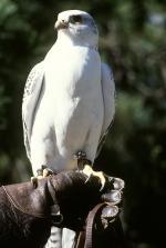 Prairie Falcon svg