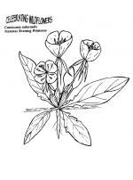 Primrose coloring