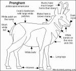 Pronghorn coloring