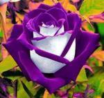 Purple Rose coloring