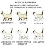 Ragdoll coloring