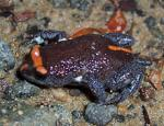 Red Crowned Toadlet coloring