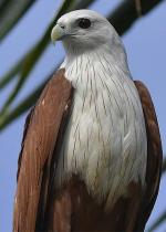 Red-backed Sea-eagle coloring