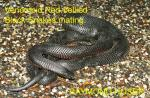 Red-bellied Black Snake coloring