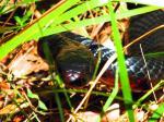 Red-bellied Black Snake svg