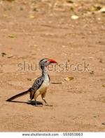 Red-billed Hornbill clipart
