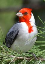 Red-Crested Cardinal clipart