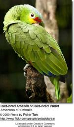 Red-lored Parrot coloring
