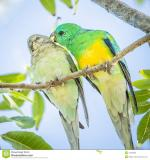 Red-rumped Parrot clipart