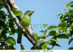Red-Throated Barbet clipart