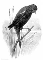 Red-winged Blackbird clipart