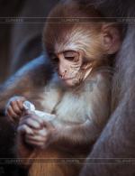 Rhesus Macaque clipart