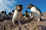 Rockhopper Penguin svg