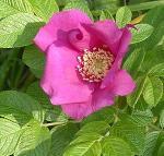 Rosaceae svg