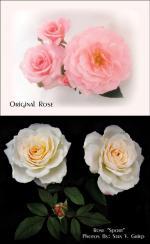 Rose Bush svg