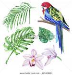Rosella coloring