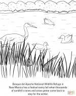 Sandhill Crane coloring