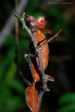 Satanic Leaf-tailed Gecko clipart