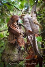 Satanic Leaf-tailed Gecko coloring