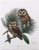 Saw Whet Owl clipart