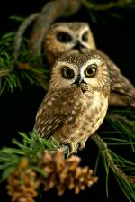Saw Whet Owl svg