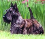Scottish Terrier  coloring