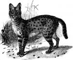 Serval clipart