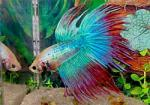 Siamese Fighting Fish coloring