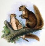 Siberian Flying Squirrel svg