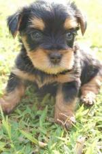 Silky Terrier svg