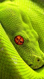 Smooth Green Snake coloring