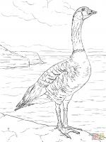Snow Goose coloring