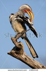 Southern Yellow-billed Hornbill coloring