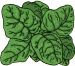 Spinach clipart