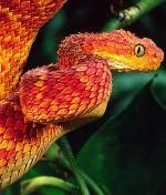 Spiny Bush Viper coloring