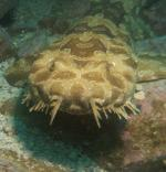 Spotted Wobbegong Shark coloring