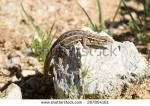 Striped Plateau Lizard clipart