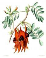 Sturt's Desert Pea coloring