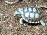 Sulcata Tortoise clipart