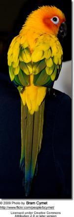 Sun Parakeet coloring