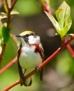 Swainson's Warbler coloring