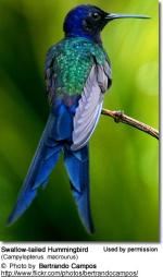 Swallow-tailed Hummingbird clipart