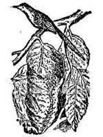 Tailorbird clipart