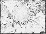 Taraxacum coloring