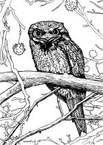 Tawny Frogmouth coloring