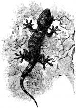 Tokay Gecko clipart